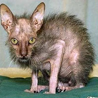 Apparently Soriphen is a cat Worlds-ugliest-cat